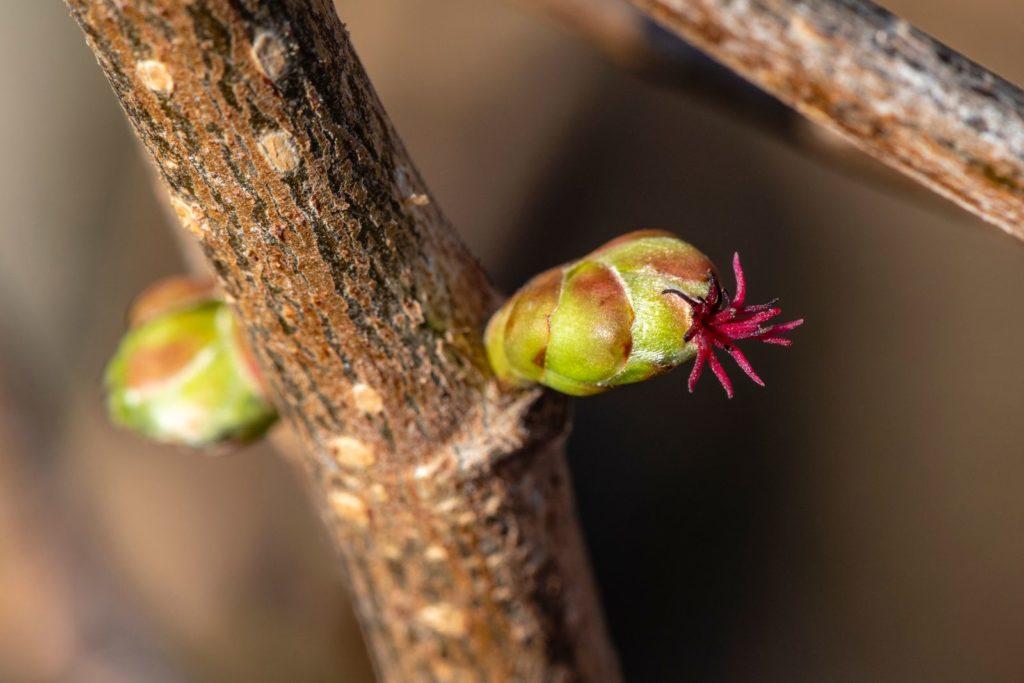 Haselnussstrauch mit kleiner Blüte