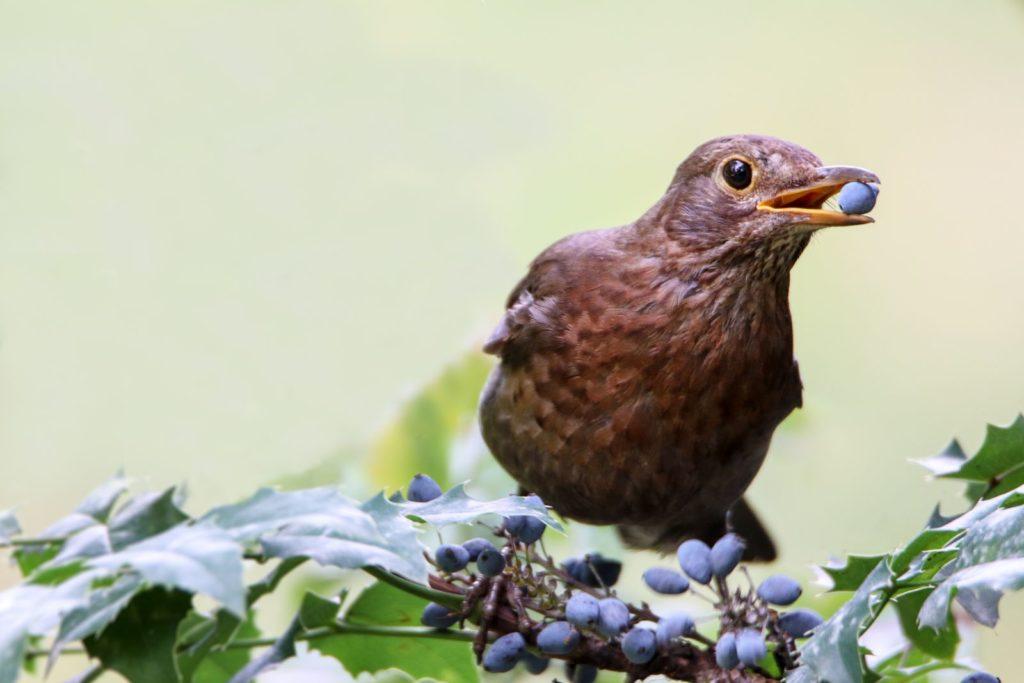 Vogel sitzt auf einem Strauch und frisst eine Beere