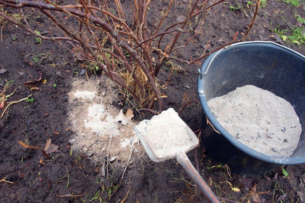 Strauch wird mit Holzasche gedüngt