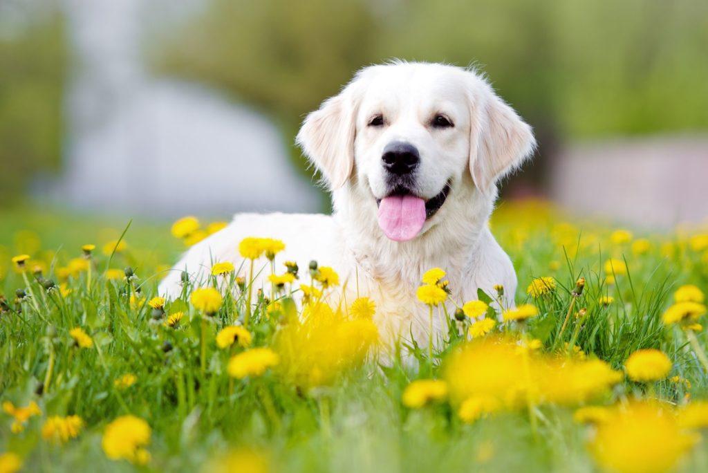 Weißer Hund in einem Löwenzahn-Feld
