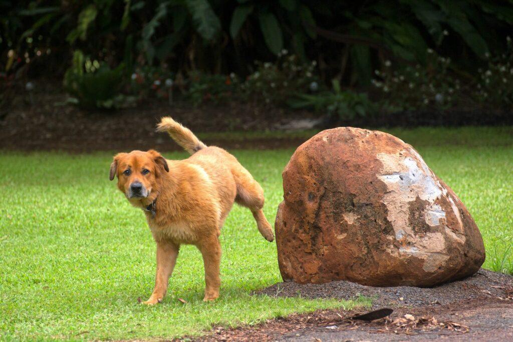 Hund uriniert auf Rasen