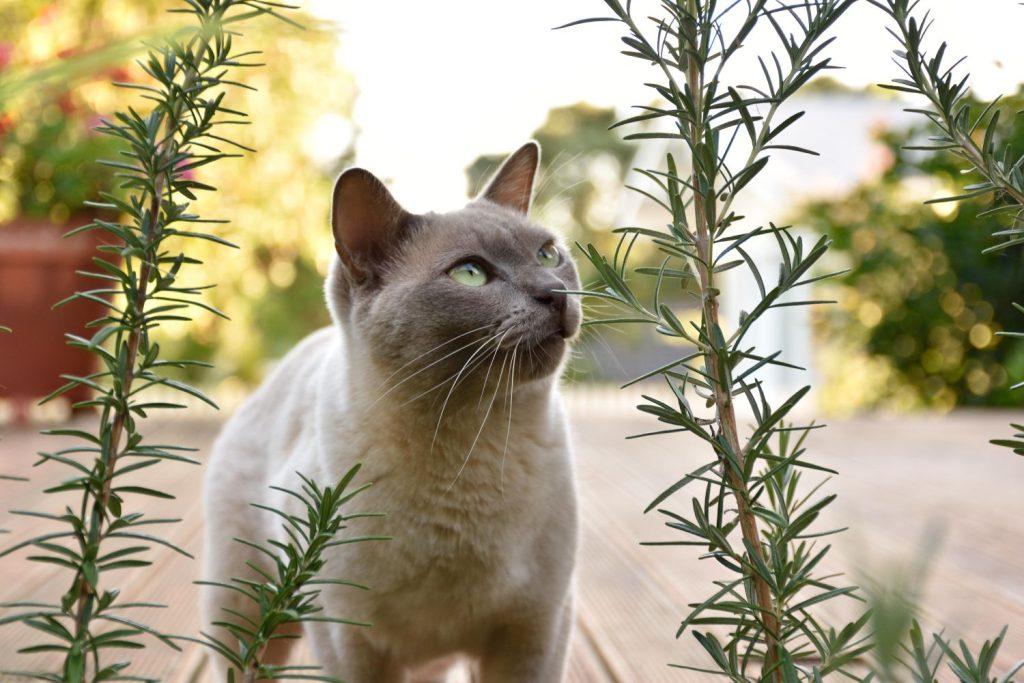Katze bei Rosmarin-Pflanze