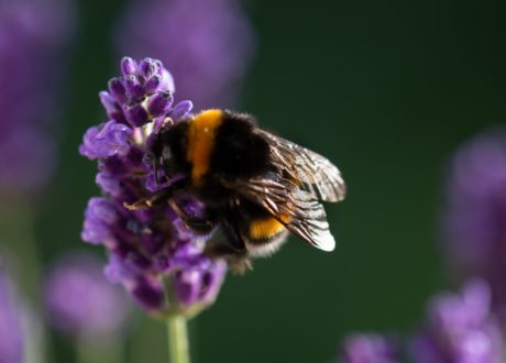 Lavendel Wird Von Einer Hummel Bestäubt