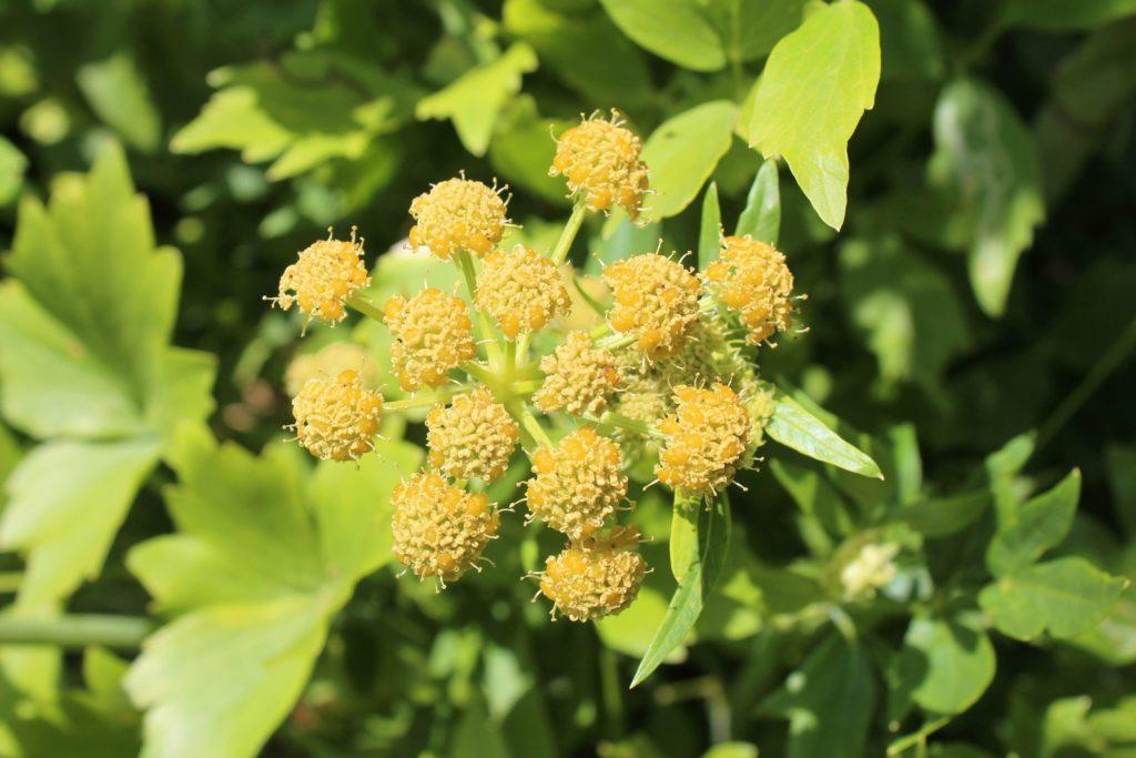 Gelbe Liebstöckel-Blüten