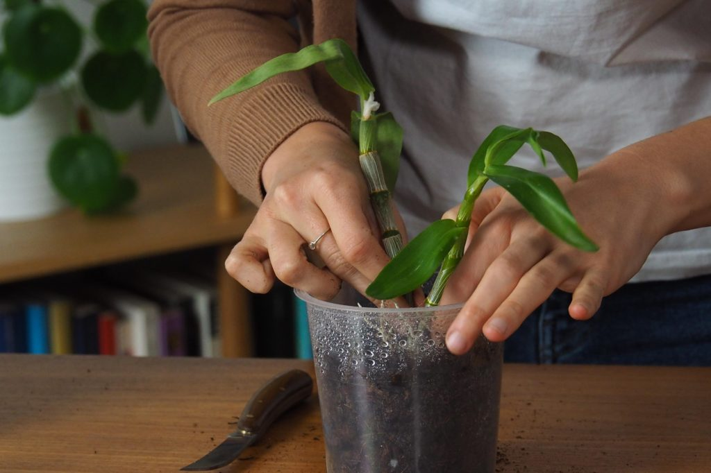 Orchideen-Kindel wird eingepflanzt