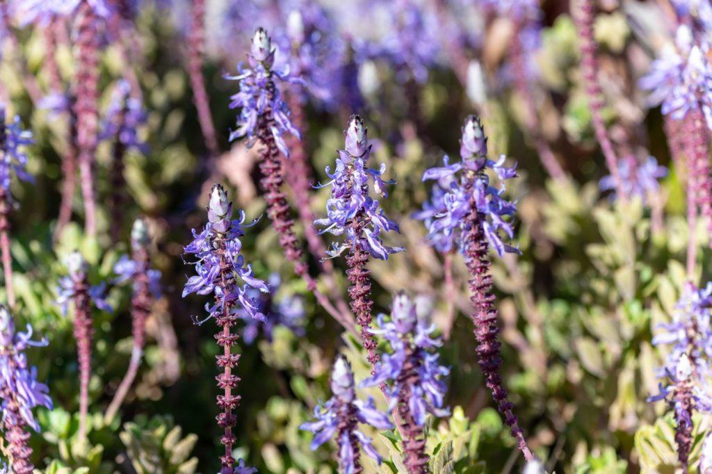 Lila-blühende Verpiss-dich-Pflanze