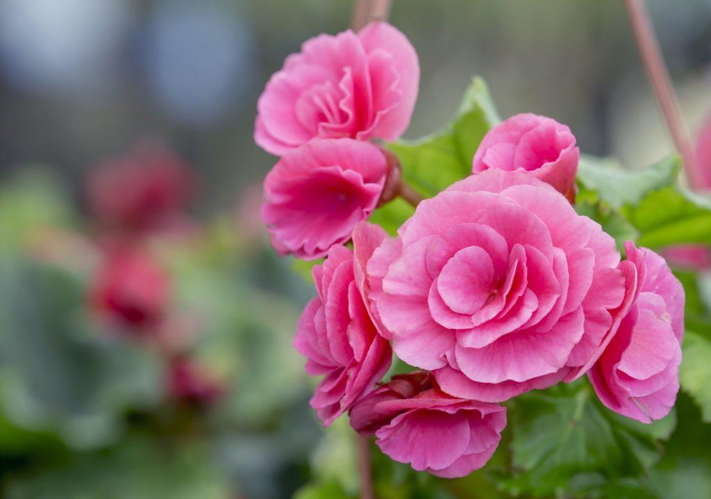Rosa Blüten der Kamelie