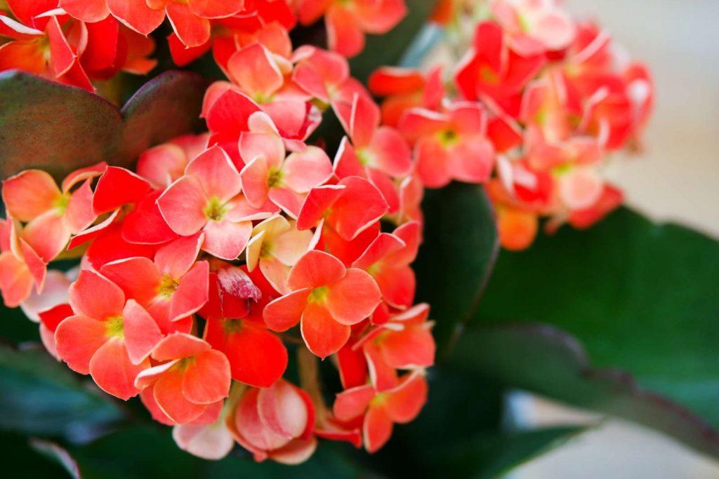 Rote Flammende Kätchen-Blüten