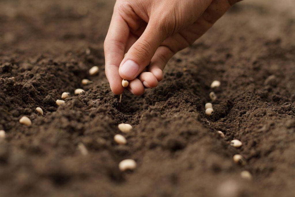 Samen werden per Hand ausgesät