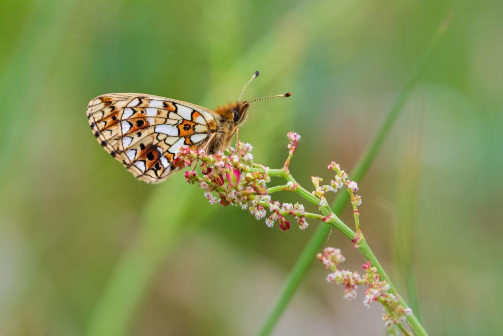Schmetterling auf Sauerampfer
