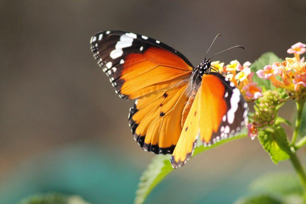 Orangefarbener Schmetterling sitzt auf einer Blüte
