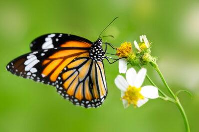 Was essen Schmetterlinge?