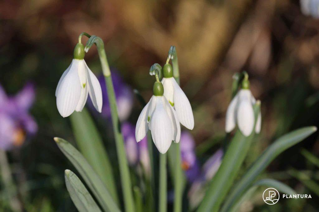 Schneeglöckchen im Gras