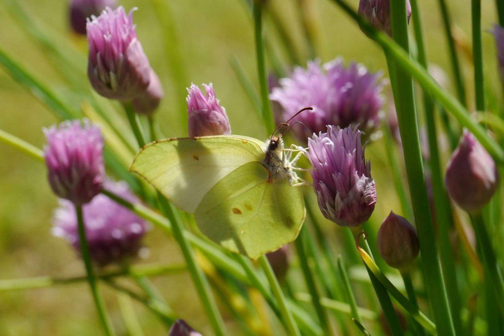 Schmetterling auf Schnittlauchblüten