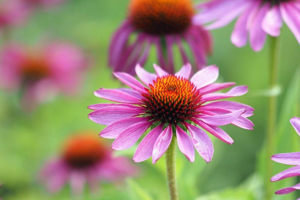 Pinke Sonnenhut-Blüte