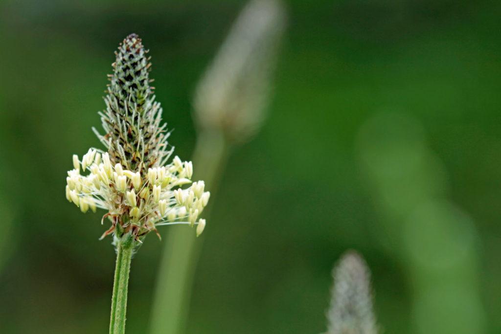 Blüte des Spitzwegerich