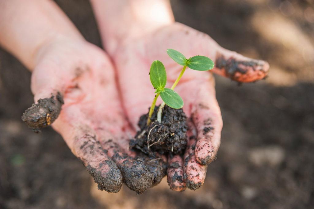 Junge Pflanze mit Erde in Händen
