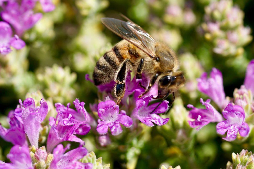 Biene auf lila Thymian-Blüten