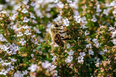 Bienenfreundliche Kräuter: Unsere Top 10