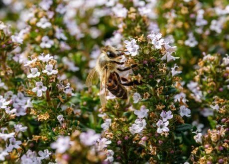 Biene Auf Thymian-Blüten