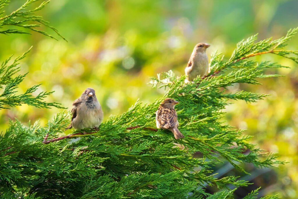 Drei Vögel sitzen auf einer Hecke
