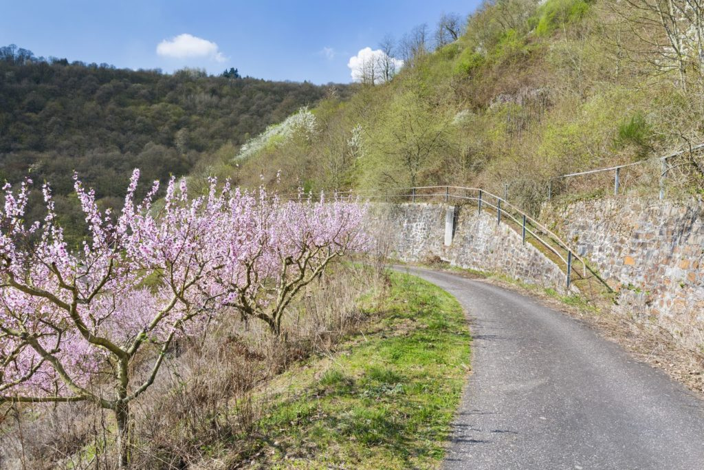 Weinbergpfirsich-Bäume am Wegesrand