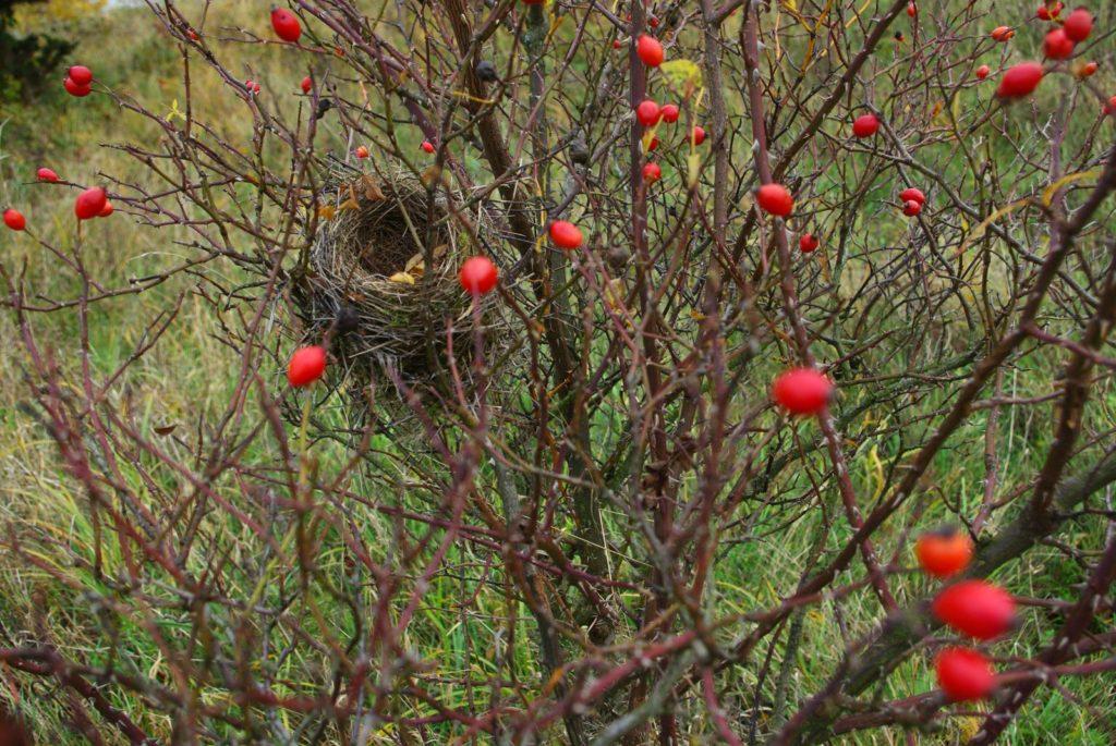 Vogelnest in einem Wildrosen-Strauch