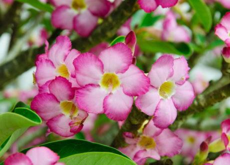 Pinke Wüstenrosen-Blüten