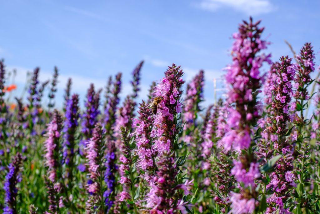Lila Ysop-Blüten mit Biene