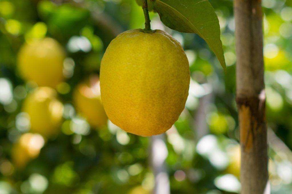 Reife Zitrone hängt an einem Zitronenbaum