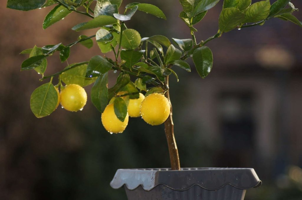 Zitronenbaum mit Früchten in Topf