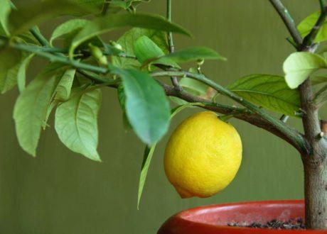 Junger Zitronenbaum Im Topf