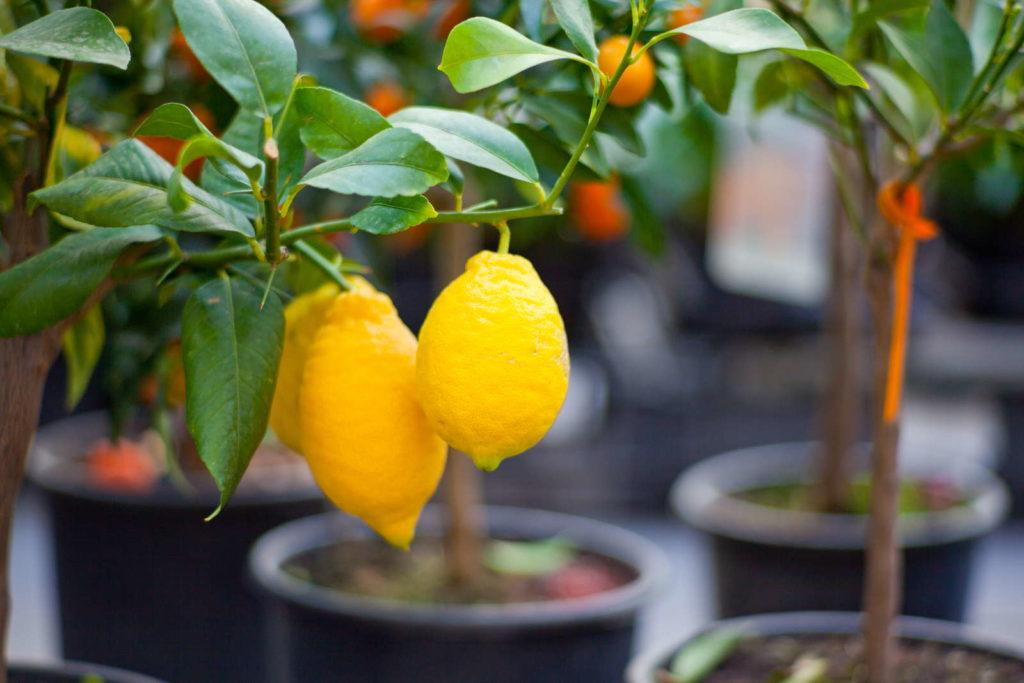Verkauf von Zitronenbäumen im Topf