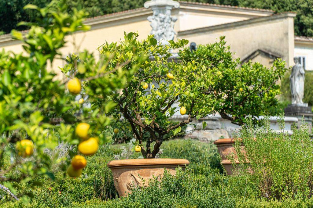 Mehrer Zitronenbäume in Töpfen