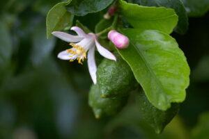 Zitronenblüte An Einem Zitronenbaum