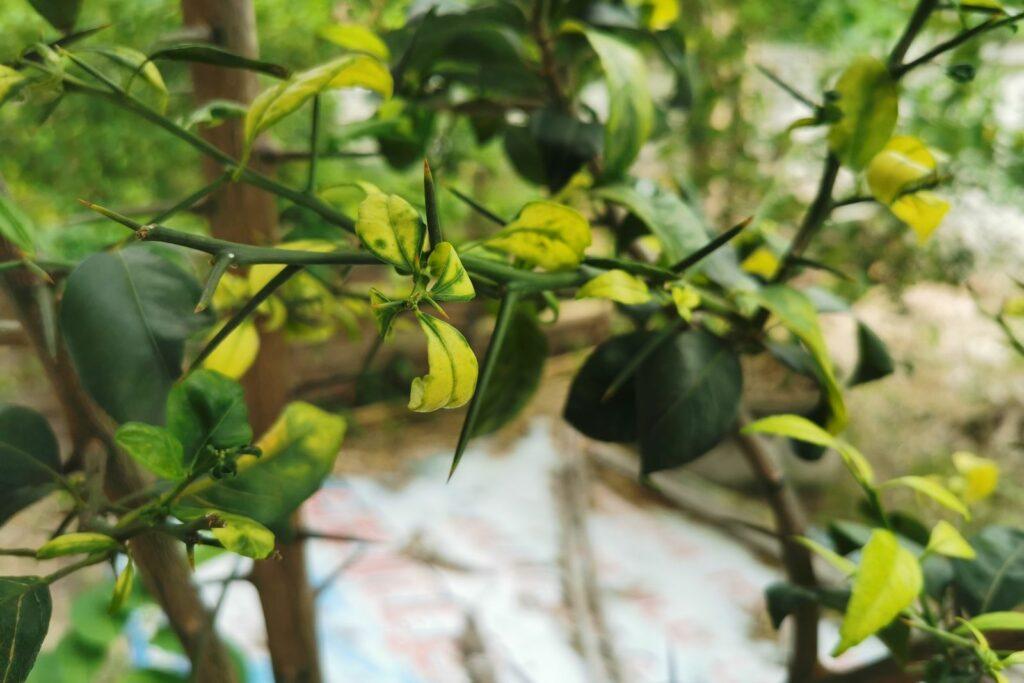 Zitronenbaum mit gelben Blättern