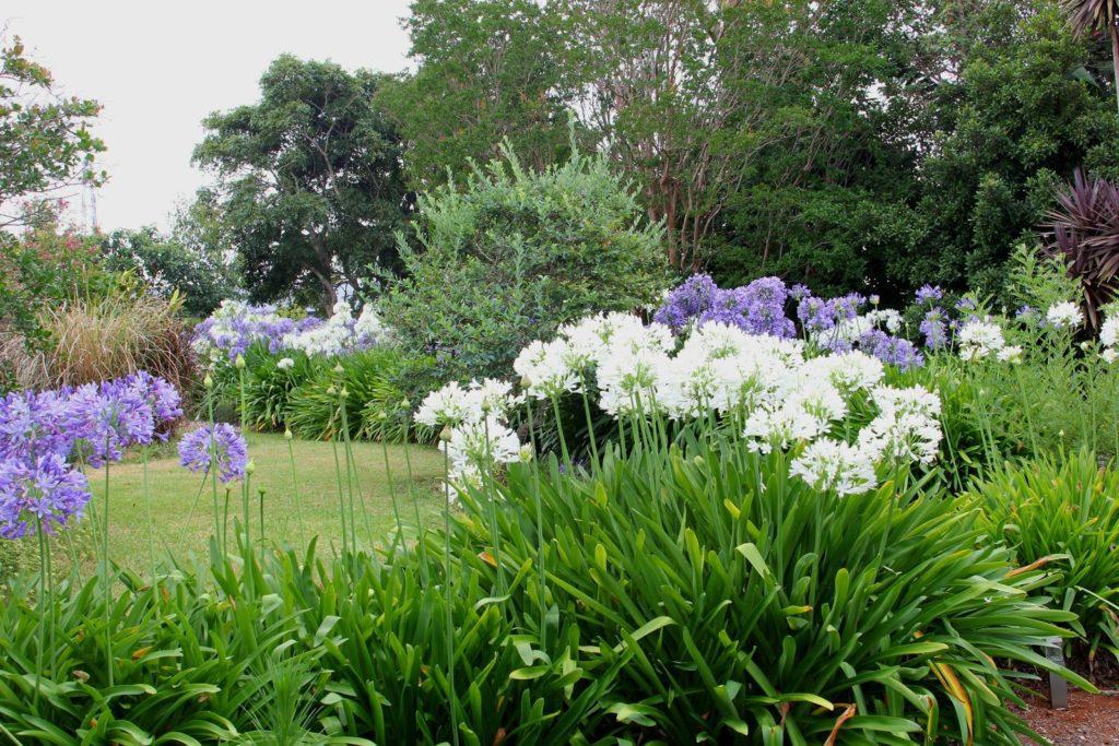 Blauer und weißer Agapanthus im Garten