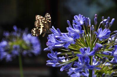 Agapanthus: Tipps zum Pflanzen & Pflegen der Schmucklilie