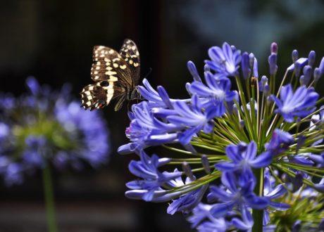 Schmetterling An Blauer Agapanthus-Blüte