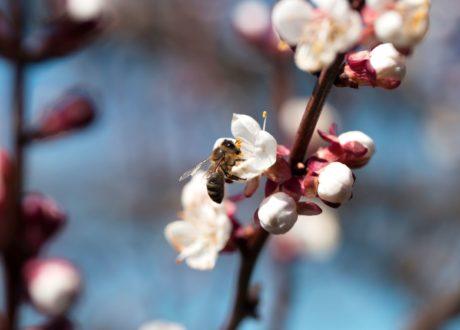 Biene An Den Blüten Eines Aprikosenbaums