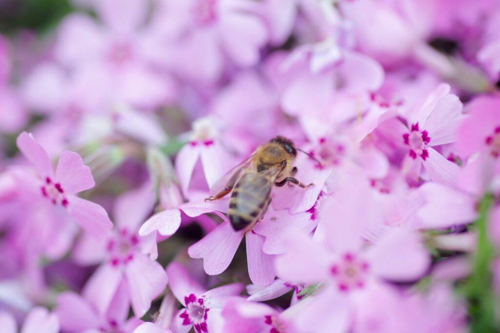 Blühende Phlox mit Biene