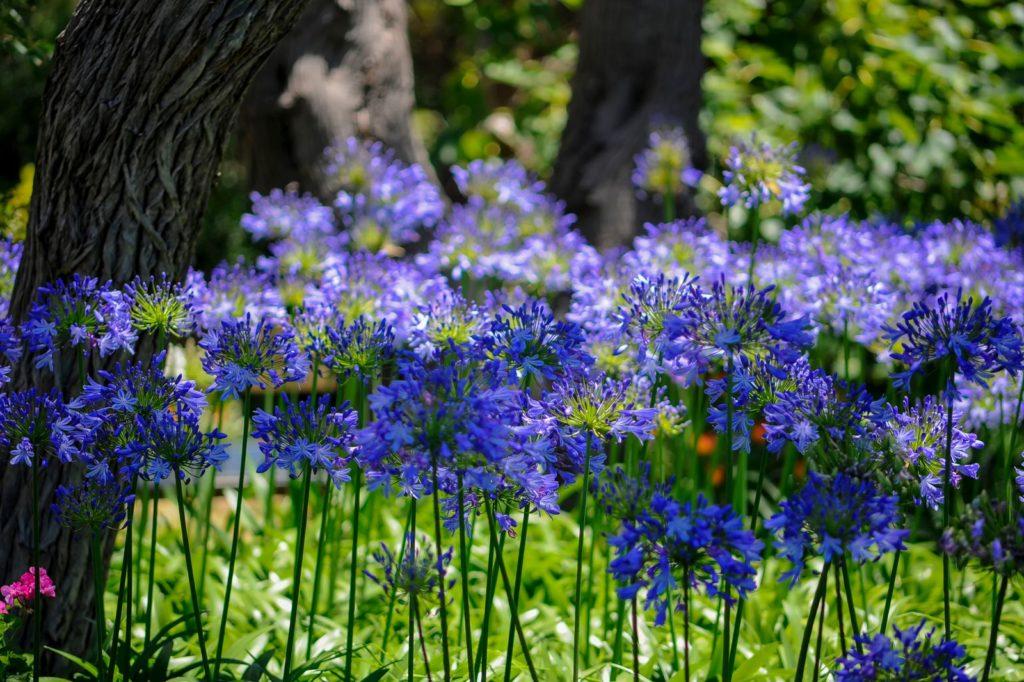 Blauer Agapanthus in einer Wiese