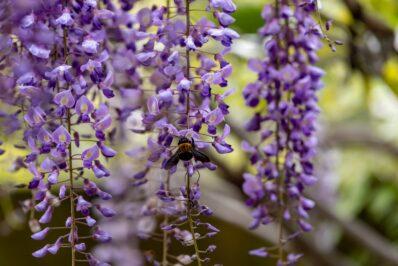 Insektenfreundliche Kletterpflanzen: Unsere Top 13 für den Garten