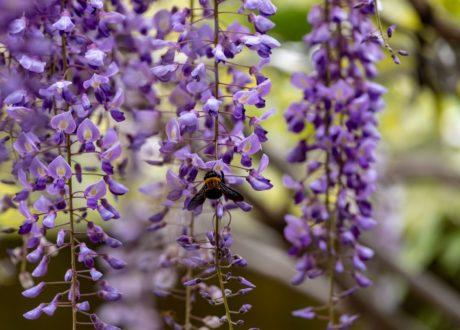 Biene Auf Blüten Von Blauregen