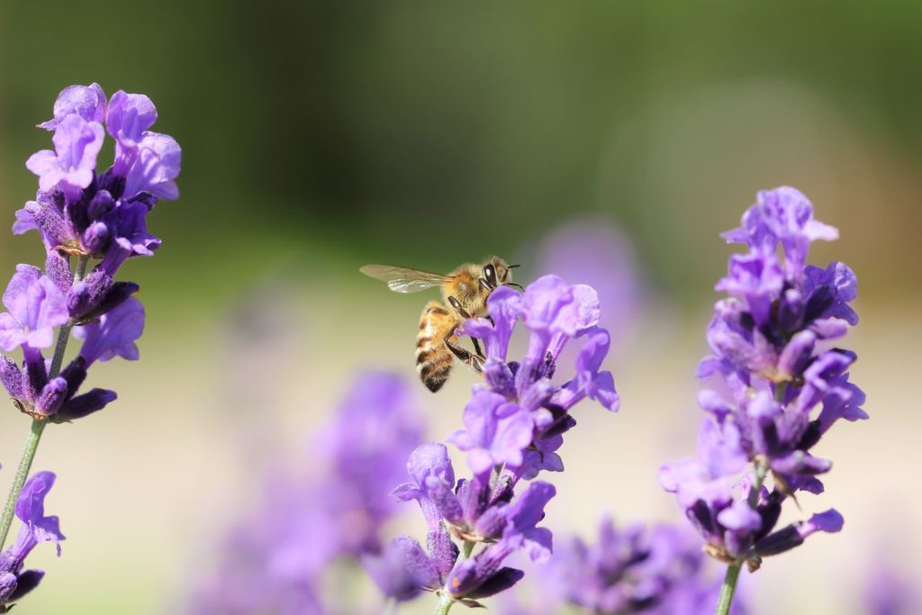 Biene an blühendem Lavendel
