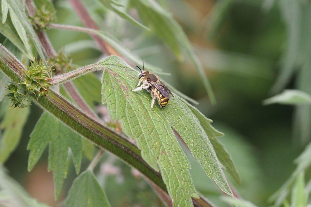 Wildbiene sitzt auf einem Blatt