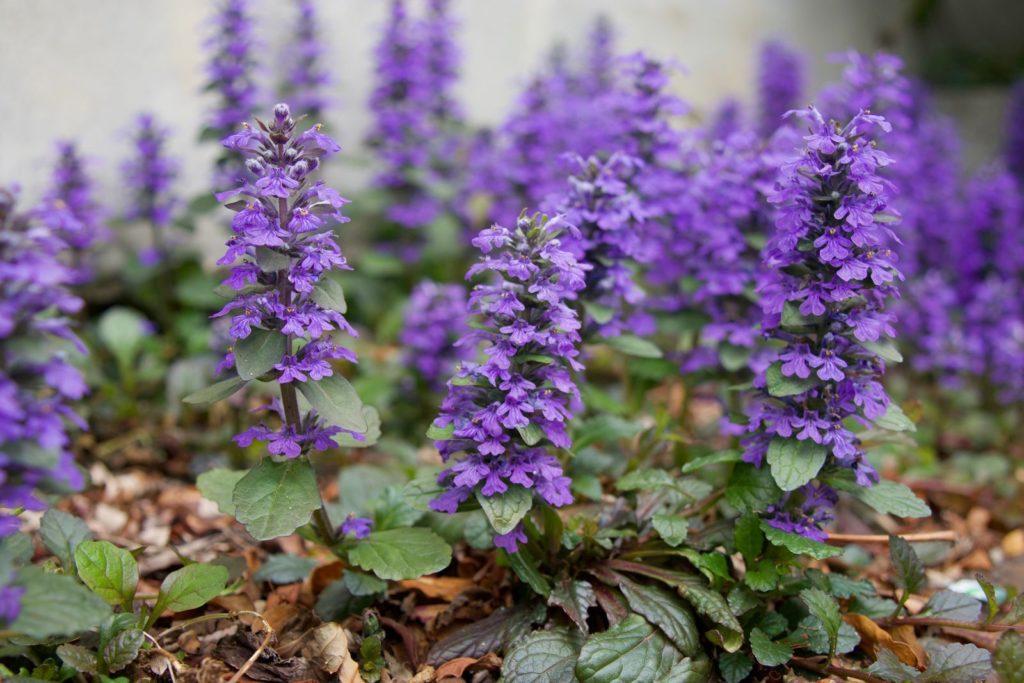 Kriechende Günsel mit lila Blüten