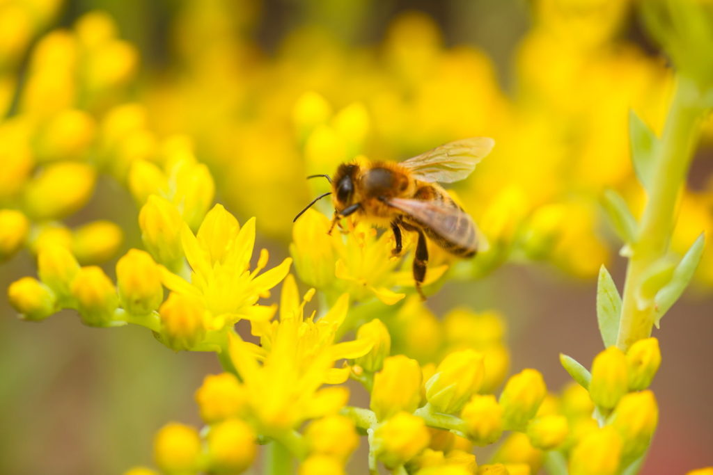 Gelb-blühender Mauerpfeffer mit Biene