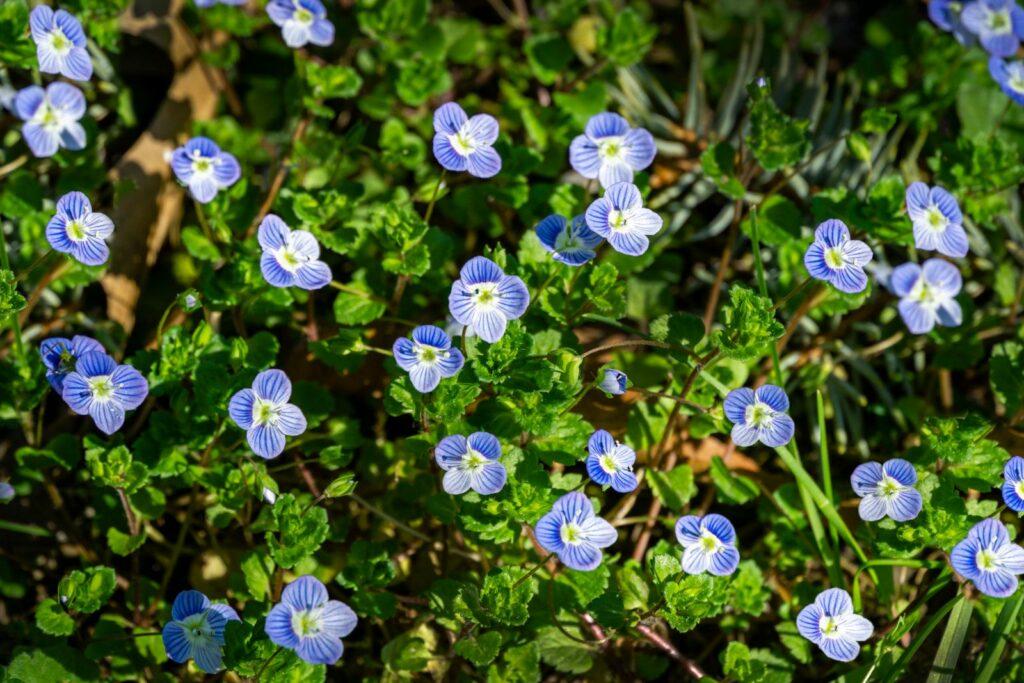 Blaue Ehrenpreis-Blüten