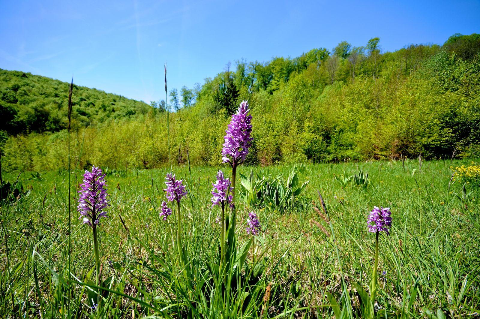 Einheimische Winterharte Orchideen Plantura